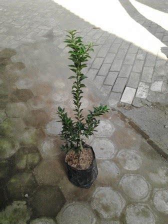 Bibit Rambutan Jombang bibit jeruk brazil jual bibit tanaman buah hias hutan