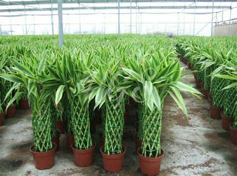 jual  laris bibit tanaman hias bambu hoki rejeki