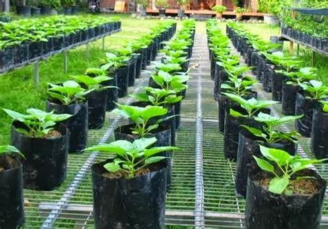tips merawat tanaman  pot  polibag daqu agrotechno