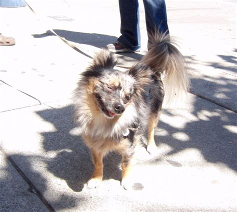 dachshund pomeranian chihuahua mix of the day popeye the chihuahua pomeranian dachshund the dogs of san