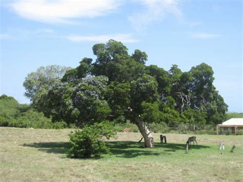 lignum möbel research suggests jamaica s lignum vitae can treat aids