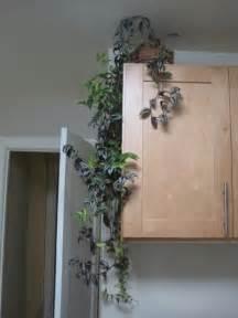 Trailing Hanging Basket Foliage Plants - indoor climbing plants how to grow climbing houseplants