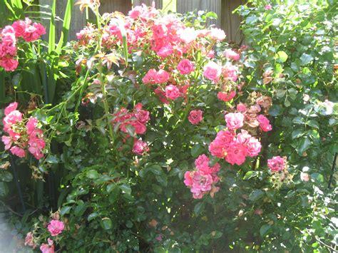 winter care for shrub roses garden guides