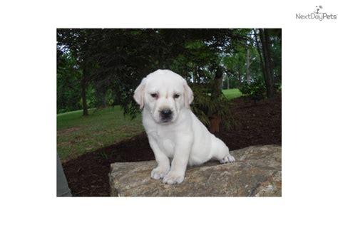 white lab puppies for sale in nc labrador retriever puppy for sale near carolina 9de0eff7 0a41