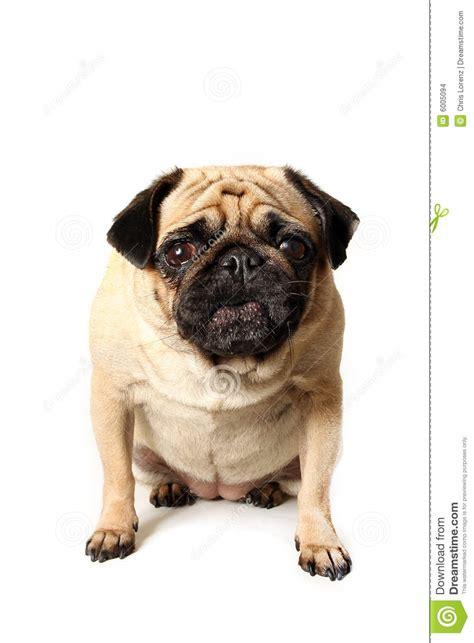 pug barking barking pug stock images image 6005094