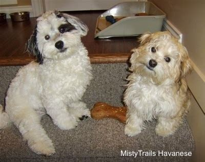 trails havanese dams term mucus breeds picture breeds picture