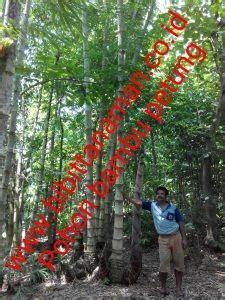 Bibit Bambu Hitam pusat bibit pohon bambu petung murah unggul di jawa tengah