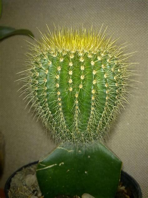 Meja Hias pin info on kaktus by searchaycom on