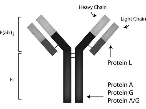 s protein agarose sepharose protein a pa50 00 0002