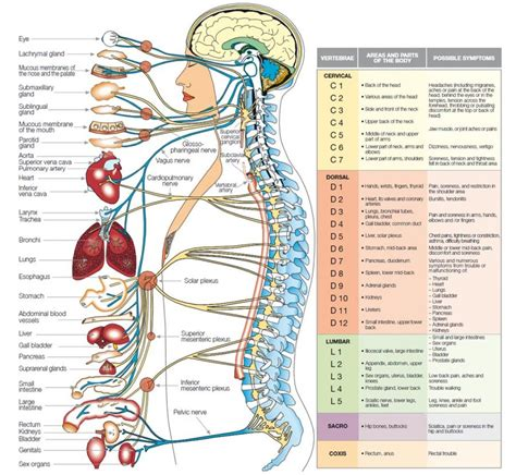 human anatomy organs diagram nervous system diagram blank human anatomy diagram