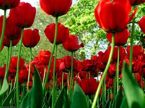 significato fiori tulipani significato fiori tulipani costanza savarese