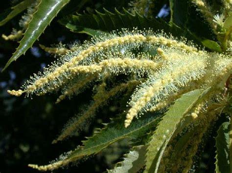 fiori castagno castanea