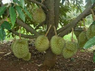 tentang durian rahasia sukses berkebun durian