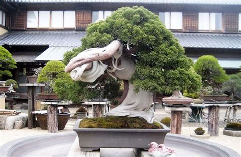 Blue And Brown Home Decor by 11 Most Beautiful Amp Oldest Bonsai Trees In The World