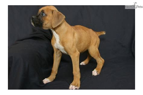 boxer puppies for sale in ky boxer puppy for sale near louisville kentucky ed878da9 e501