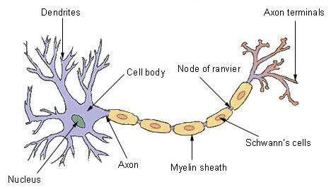 labelled diagram of nerve cell room 20 s space happy healthy me inquiry