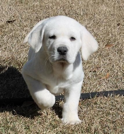 white labrador retriever puppies labrador retriever puppies white www pixshark images galleries with a bite
