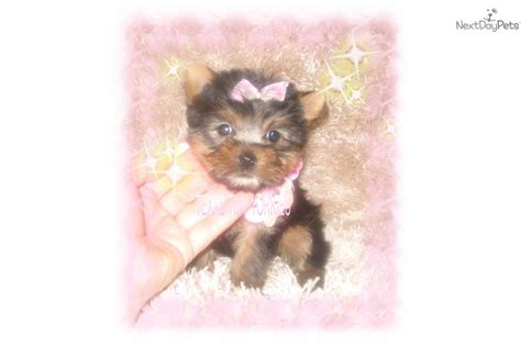 yorkie teddy teddy yorkie puppies breeds picture