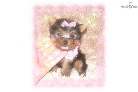 yorkie teddy teddy yorkie puppies breeds picture