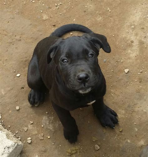 corso puppy black corso puppy for sale northton northtonshire pets4homes