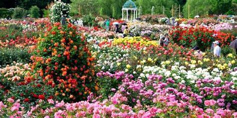 wallpaper bunga mawar warna warni warna warni lautan bunga di 5 kebun mawar terindah dunia