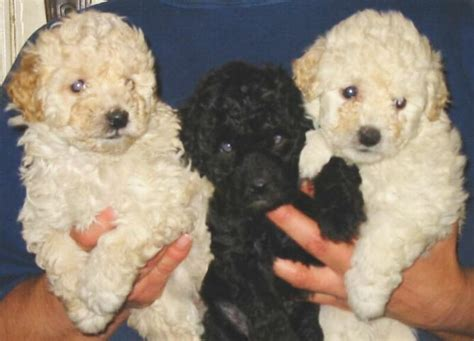 references photos thomas kennel maltese poodles maltese poodle photograph our maltese poodle puppies for s