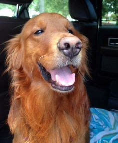 golden retriever rescue naples fl 1000 images about dogs on collie collie and border collies