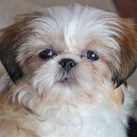 heavenly shih tzu shih tzu puppy for sale in south florida
