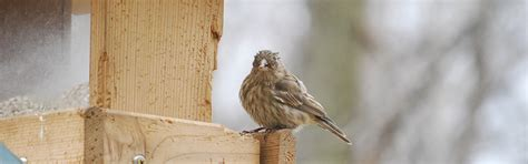 house finch food preferences house finch eye disease feederwatch