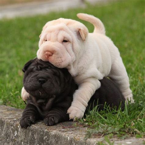 sharpe puppies 25 best ideas about shar pei on shar pei
