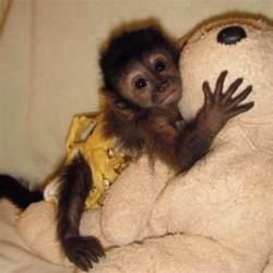 pet capuchin monkeys pinterest