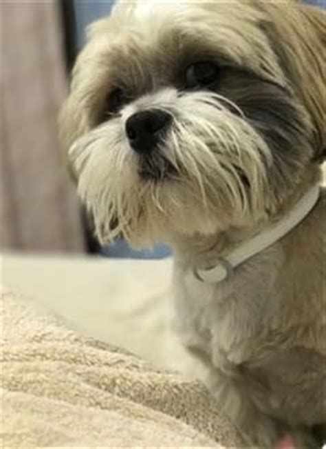 shih tzu shedding puppy coat shih tzu shedding coat renewal for puppy and dogs