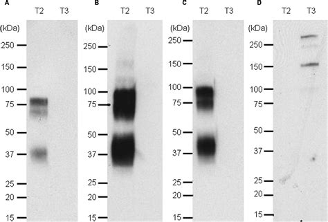 frontiers antibody targeting of steady frontiers nanoluc luciferase a multifunctional tool