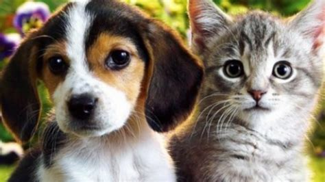 cats or dogs most popular pet cats or dogs