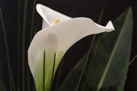 how to grow and care for vibrant and lovely calla lilies