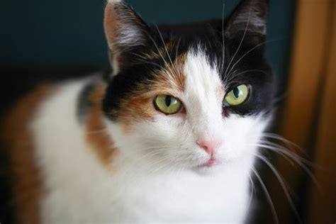 Calico Cats, Picturesque Tri Colored Cats.
