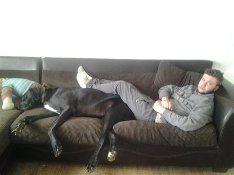 share couch great dane doesnt mind sharing his couch with human