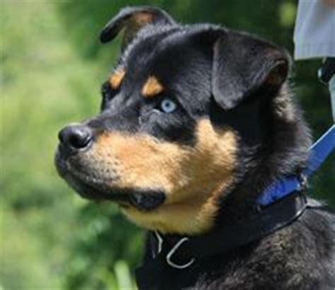 can rottweilers blue 1000 images about rottweiler mixed with other breeds on rottweiler mix