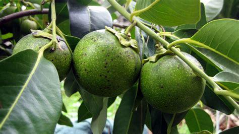 imagenes zapote negro investigan usos medicinales del zapote negro y zapotillo