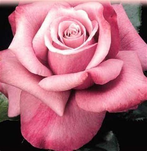 barbra streisand the rose the barbra streisand rose barbra streisand photo