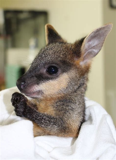 wallaby pictures kids search