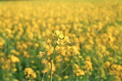 fiori di senape fiori della senape in piena fioritura nei ci della