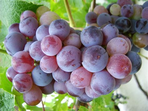 are grapes poisonous to dogs grapes are poisonous cus commons pet hospital