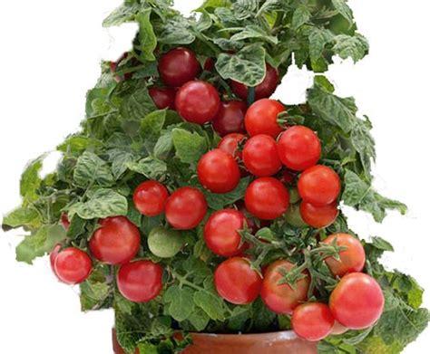 come coltivare i pomodori in vaso come coltivare i pomodori in vaso garden4us