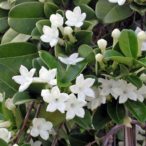 houseplant vine australian seed stephanotis floribunda