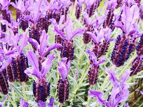 top 28 lavender plants sydney plants management australia lavandula pedunculata the a