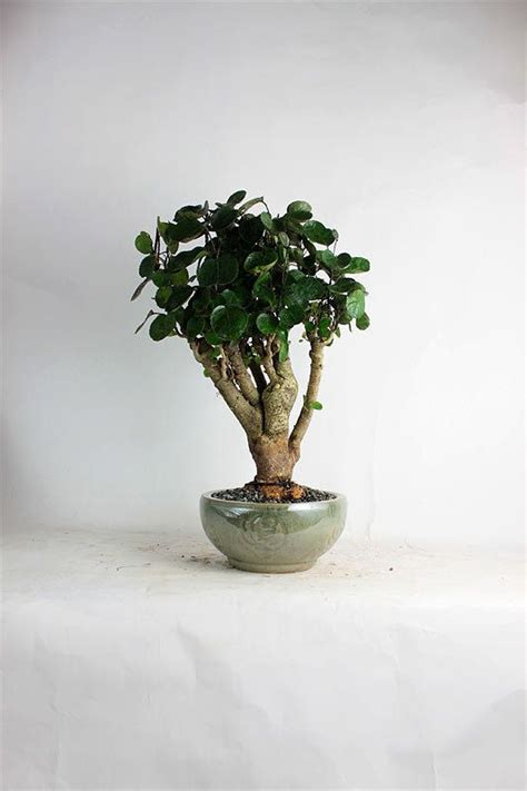 fabian aralia bonsai tree summer indoor collection