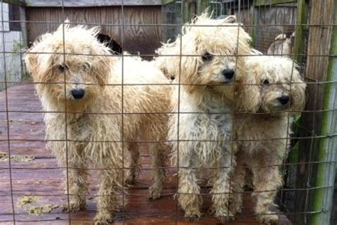 just puppies puppy mill puppy mill dogs rescued in big sky country puppies and dogs