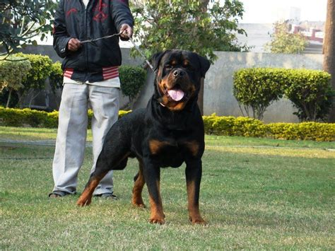 vitamins for rottweiler rottweiler supplements that build