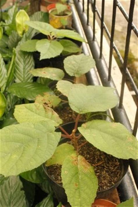 Bibit Tanaman Buah Kiwi berkebun yuuk perkembangan pohon kiwi